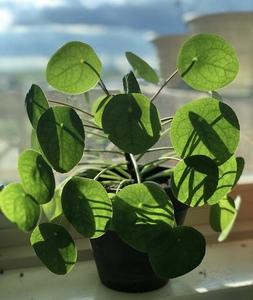Plante Piléa